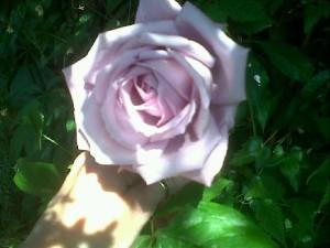 Rare lilac rose