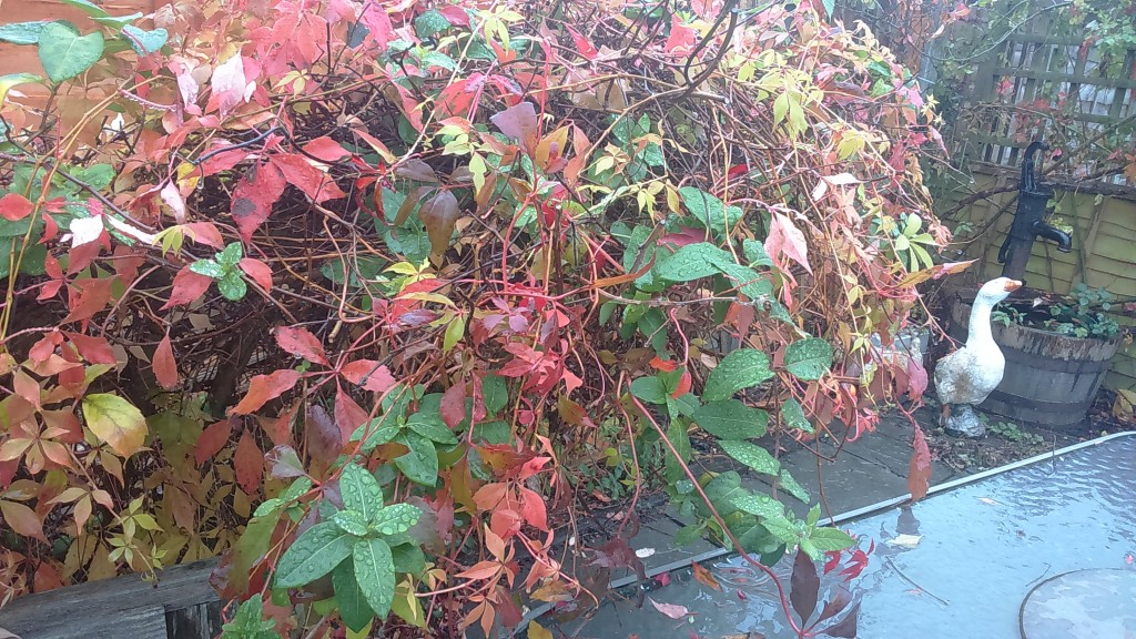 Russian Ivy, extraordinary colours. Challenging S.A.D.